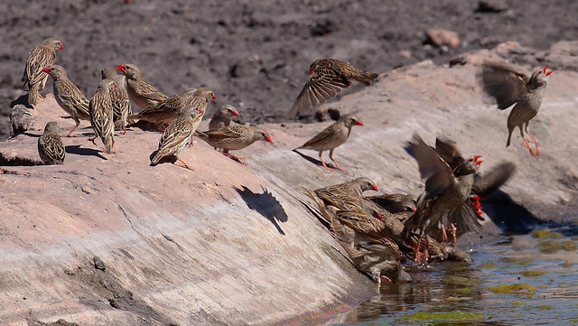 Red-Billed Quelea Flock