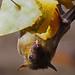 "<p><a href=""https://www.flickr.com/people/the_welcomematt/"">the_welcomematt</a> posted a photo:</p>  <p><a href=""https://www.flickr.com/photos/the_welcomematt/49056997531/"" title=""Fruit Bat""><img src=""https://live.staticflickr.com/65535/49056997531_5ab79fda33_m.jpg"" width=""240"" height=""171"" alt=""Fruit Bat"" /></a></p>  <p>p722031443_43838267610_o (2)_edited-3</p>"