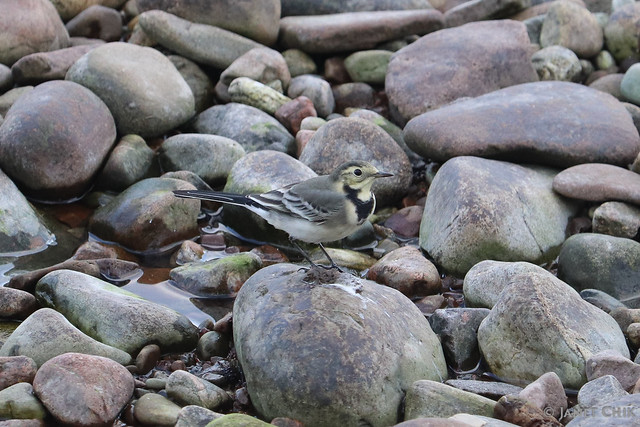 White wagtail 白鶺鴒