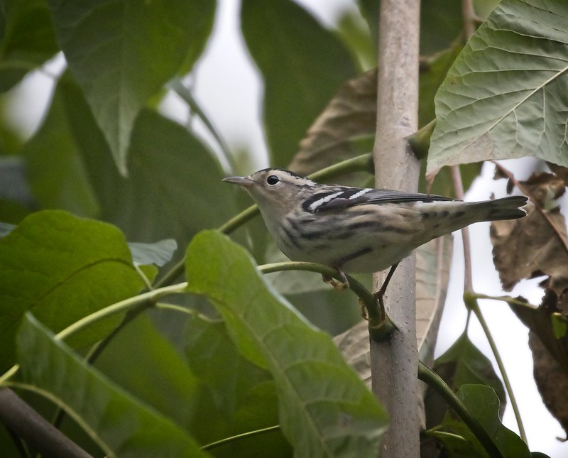 Black and white warbler in Central Park