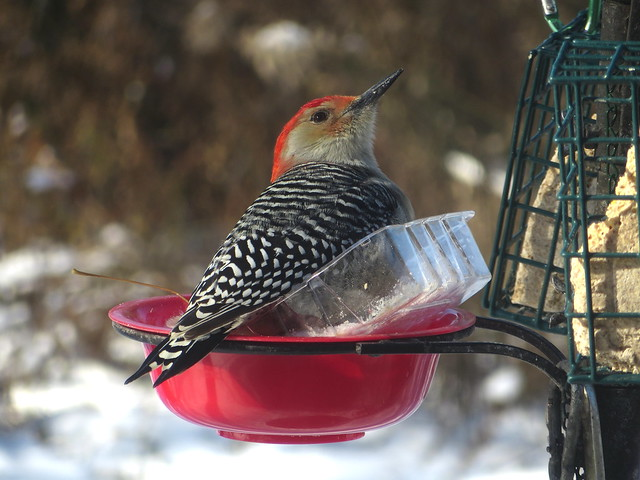 Male Red-bellied Woodpecker At The Bird Feeder Station IMG_4672