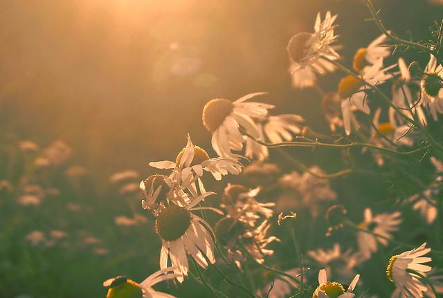 Blooming chamomile in the sunshine / Virágzó kamillák a napfényben