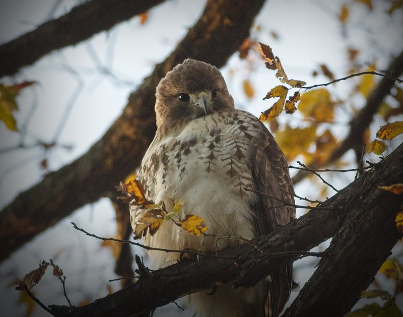 Christo the red-tailed hawk waking up at dawn in Tompkins Square