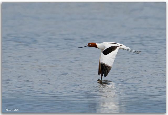 Red-necked Avocet in flight