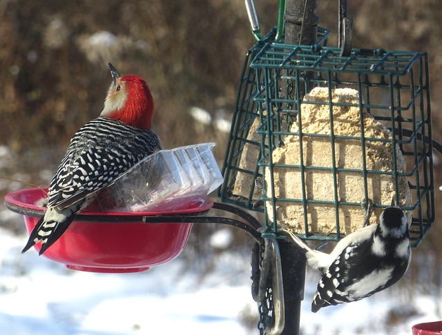 Red-bellied Woodpecker And Downy Woodpecker At The Bird Feeder Station IMG_4661