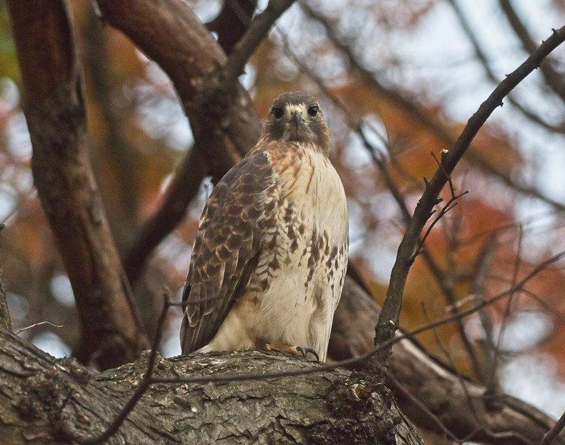Red-tailed hawk Christo in the fall foliage