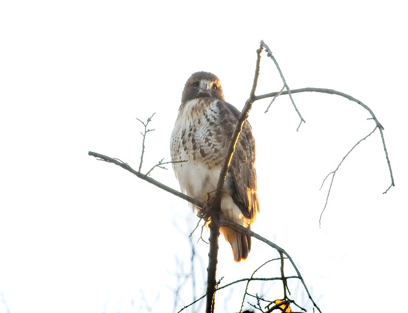 Red-tailed hawk Amelia at sunrise