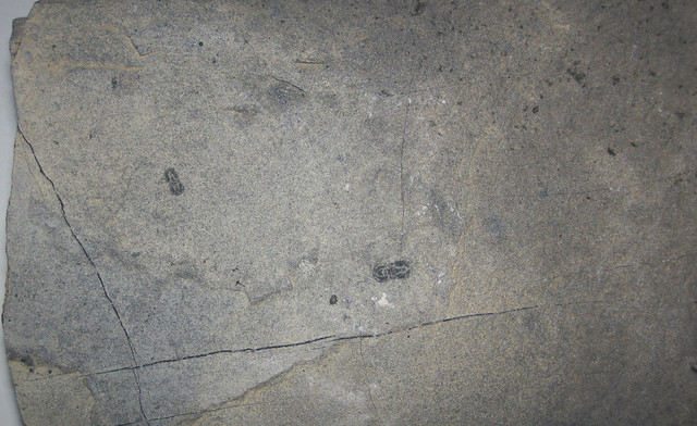 Agnostoid trilobites in limestone (Wheeler Formation, Middle Cambrian; southeastern corner of the Drum Mountains, Utah, USA)