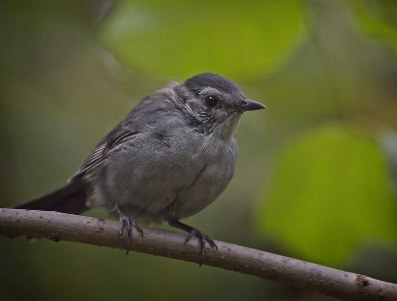 Gray Catbird in Central Park