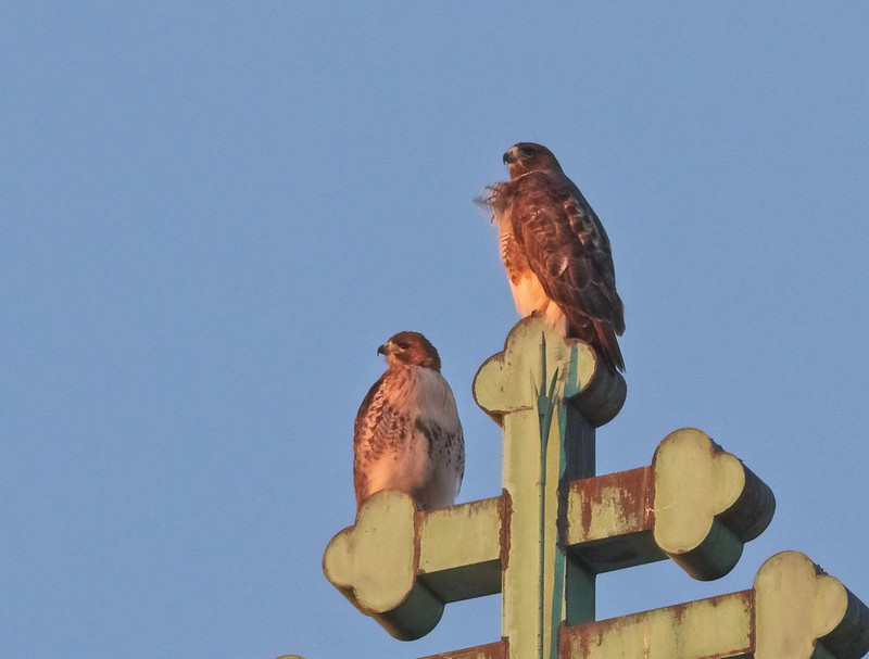 Red-tails Christo and Amelia at sunset