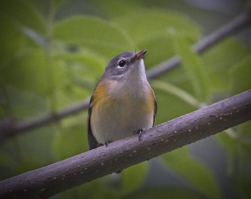 American Redstart in Central Park