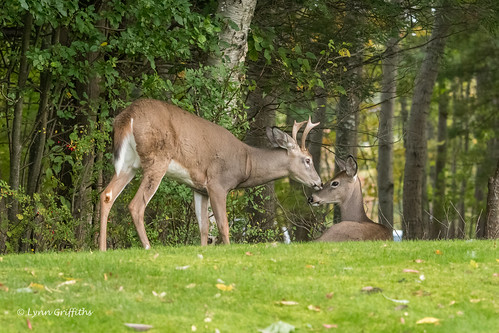 nature landmammals deer whitetaileddeer fauna mammal mammals odocoileusvirginianus wildlife barharbor maine unitedstatesofamerica
