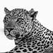 "<p><a href=""https://www.flickr.com/people/bradverts/"">Bradverts</a> posted a photo:</p>  <p><a href=""https://www.flickr.com/photos/bradverts/49057781693/"" title=""Battle-scarred leopard""><img src=""https://live.staticflickr.com/65535/49057781693_24d7f66654_m.jpg"" width=""240"" height=""178"" alt=""Battle-scarred leopard"" /></a></p>"