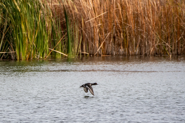 Ringed Necked Duck