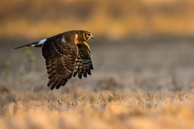 Northern Harrier, Female (explored on 11/13/2019)