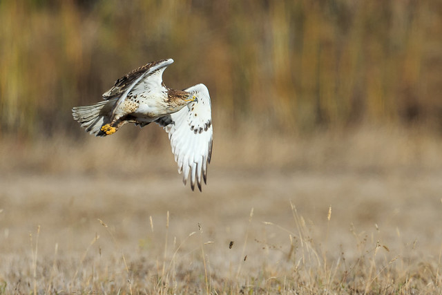 Ferruginous Hawk (explored on 11/13/2019)