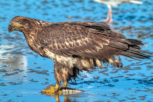 Bald Eagle fishing © Click to view large