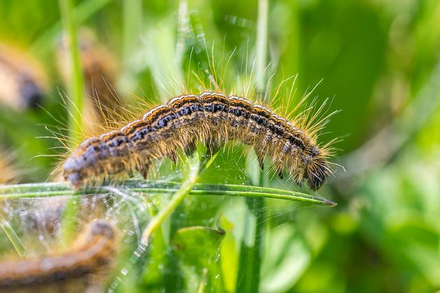 Caterpillar - Chenille