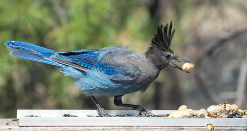 cyanocittastelleri 1502shadetree az add2flickrnov2019 animals birds feederheber heberovergaard jays misc places stellersjay usa wusa starting19feb2018 arizona unitedstatesofamerica 20190721104007