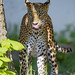 "<p><a href=""https://www.flickr.com/people/tambako/"">Tambako the Jaguar</a> posted a photo:</p> 	 <p><a href=""https://www.flickr.com/photos/tambako/49058076488/"" title=""Between light and shadow""><img src=""https://live.staticflickr.com/65535/49058076488_dbf91a65a0_m.jpg"" width=""171"" height=""240"" alt=""Between light and shadow"" /></a></p>  <p>The young leopardess of the Bratislava zoo standing in the vegetation and licking her nose...</p>"