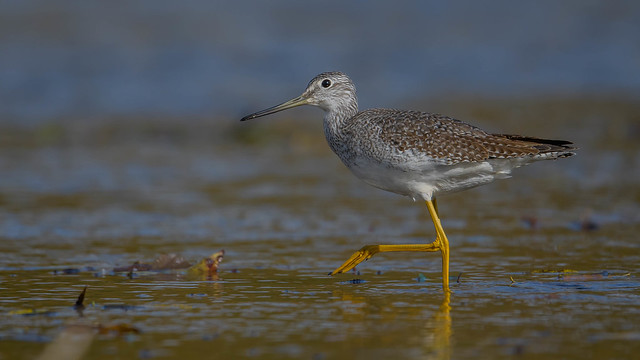 Greater Yellowlegs  8807