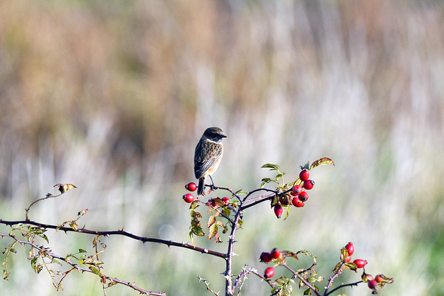 Whinchat (Saxicola rubetra)  -  (Selected by GETTY IMAGES)