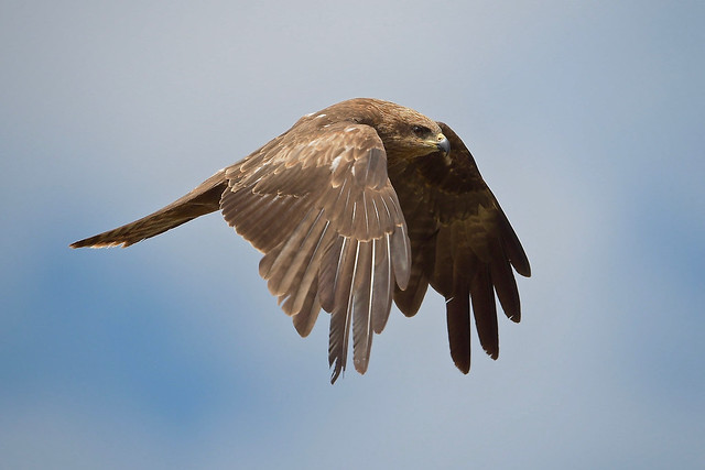 Black Kite: On a Stiff Breeze