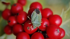 Shield bug on holly berries
