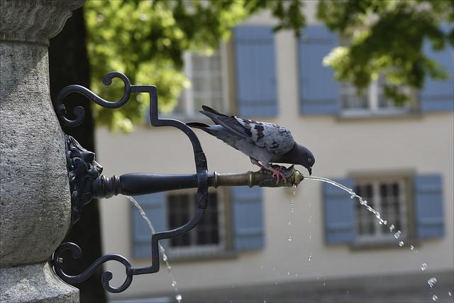 Thirsty Pigeon / Durstige Taube  (Explored)