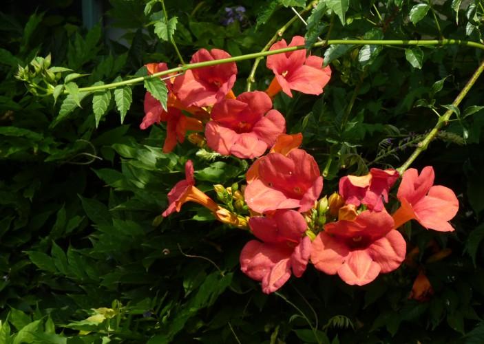 Campsis grandiflora 49058531326_16d2ab9475_o