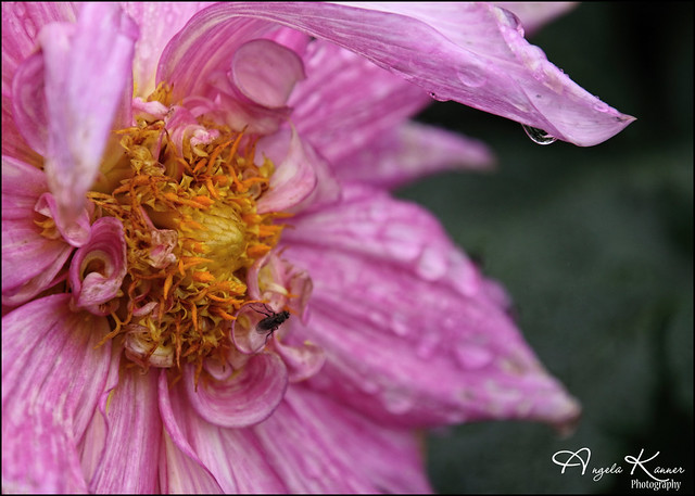 Droplets and a Fly On The Dahlia...
