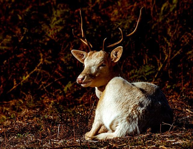 White beauty - Fallow deer