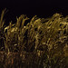 Reeds at night