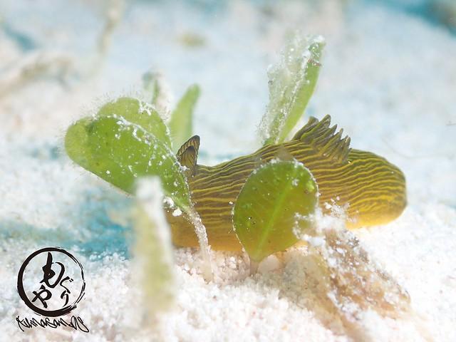 藻をくぐり抜けるキヌハダウミウシ属の一種4。