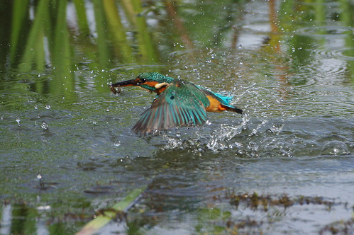 lackfordlakes suffolk wild wildlife nature bird flying emerging kingfisher alcedoatthis