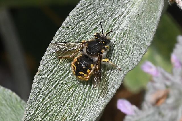 Megachilidae Anthidium manicatum. L'abeille cotonière. The European wool carder bee.