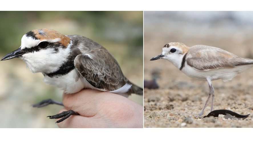 Comparison of two plover species