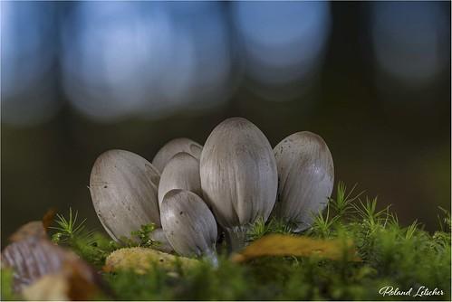 Coprin noir d'encre - Coprinopsis astramentaria