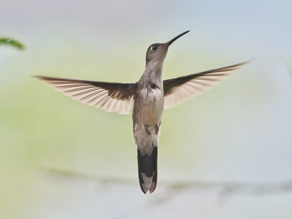 Gray-breasted Sabrewing (Campylopterus largipennis)