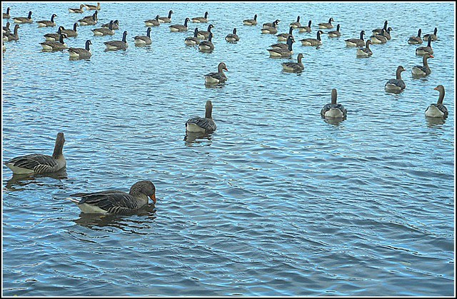 Geese on the Lake ..