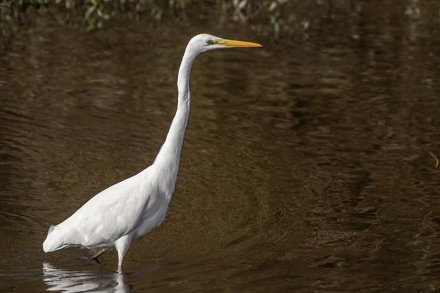 Great white Egret. Abberton reservoir.