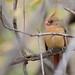 Red Cardinal_2221