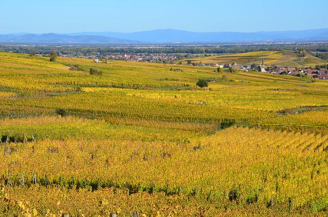 Les vignes écarlates  -  The scarlet vines