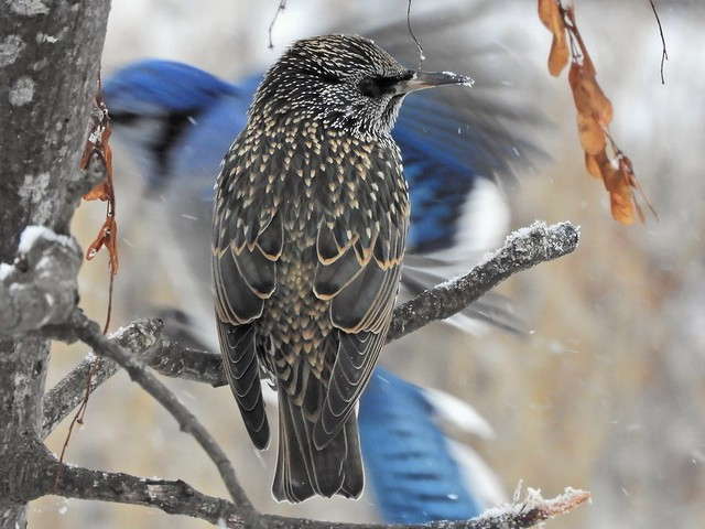 Starling, with a dash of unexpected Blue Jay.