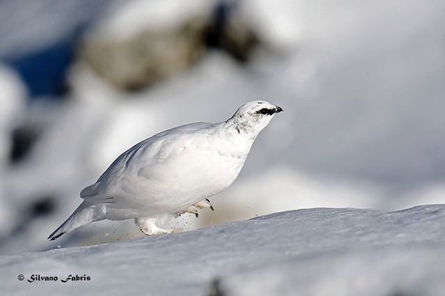 Pernice bianca, una dama sulla neve...  (Maschietto)