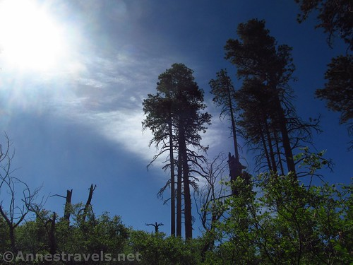 Trees in the burned-out forest near Atoko Point, Grand Canyon National Park, Arizona