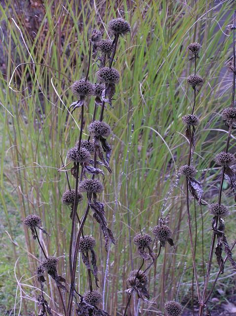 Phlomis tuberosa 'Amazone Mist'
