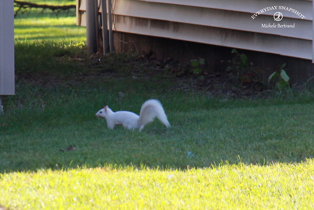 White Squirrel (2)