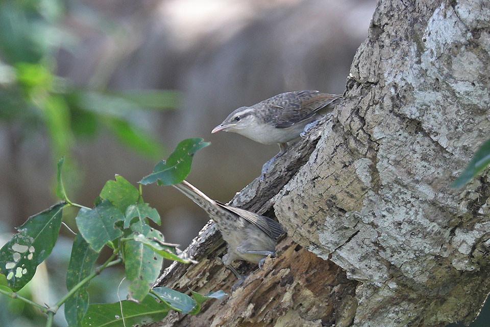 Thrush like Wren-Campylorhynchus turdinus