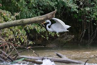 Grande aigrette - Bernat blanc - Great egrett - Ardea Alba